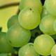 Grønne druer del 1